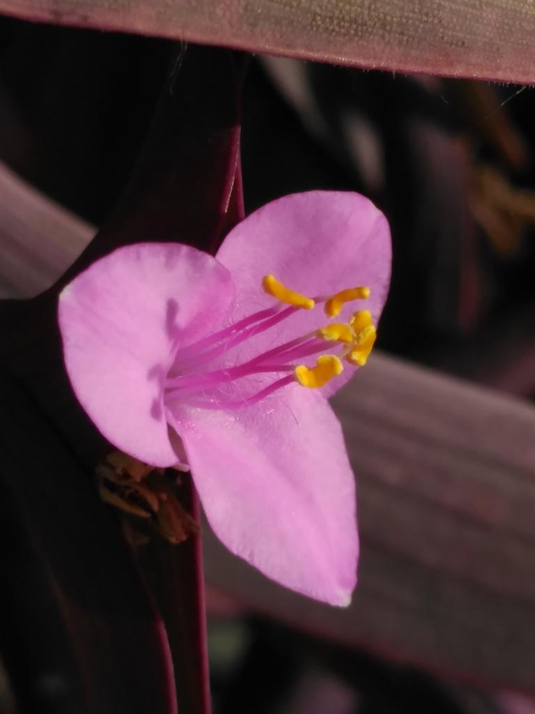 Flor de Tradescantia pallida (purpurina, amor de hombre, pollo morado)